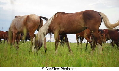 Horses in meadow - Herd of horses in the pasture