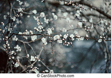 Apricot tree flower with buds blooming at sptingtime,...