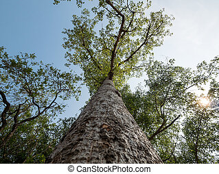 Low angle view of Bombax ceiba tree with warm sunlight and...