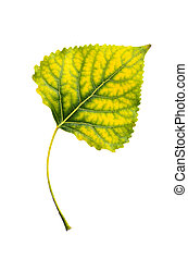 Poplar leaf - Autumn yellow green poplar leaf isolated on...