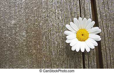 daisy - a beautiful daisy blossom on old wood