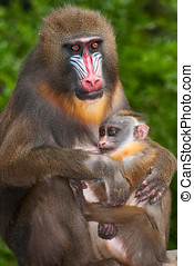 baboon  - Mother baboon with her ??cria
