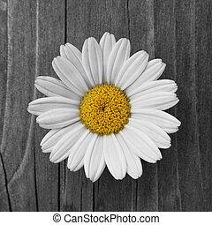 daisy - a beautiful daisy blossom on old wood