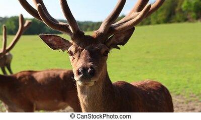 Fallow deers - Detail of fallow deer in the park
