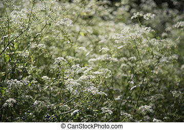 Cow parsley natural wild plant shallow depth of field