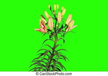 Blooming orange lily flower - 4K Blooming orange lily flower...