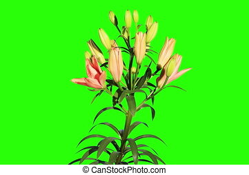 Blooming orange lily flower - 4K Blooming orange lily flower...