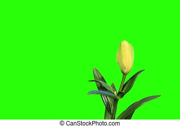 Blooming yellow lily flower - 4K Blooming yellow lily flower...