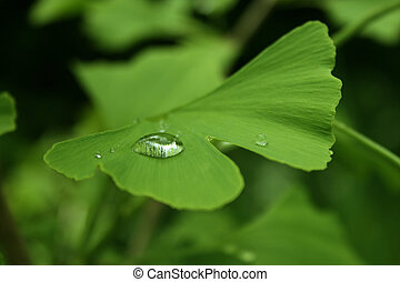 ginkgo - green ginkgo leaf with a waterdrip on the surface
