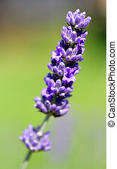 Gorgeous Lavender Purple flower and blurry background -...