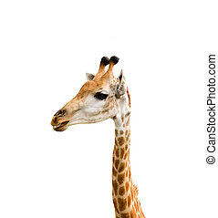 Giraffe head close up isolated on white