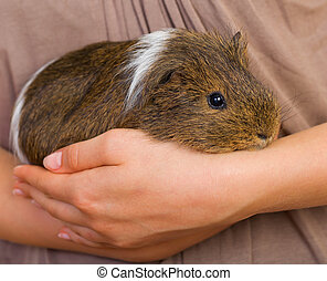 Guinea pig - Picture of a female hand holding a guinea pig