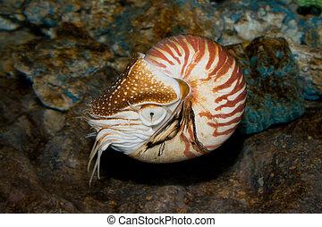 Chambered Nautilus (Nautilus pompilius) underwater