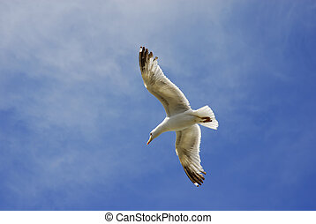 seagull - young flying seagull in the blue sky