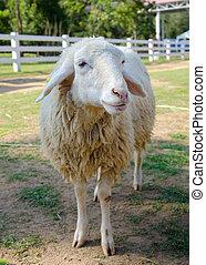 Closeup of long wool sheep on the farm