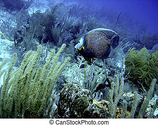 French Angelfish - The French angela Pomacanthus paru is a...