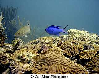 Blue Damselfish - Chrysiptera cyanea also known as blue...