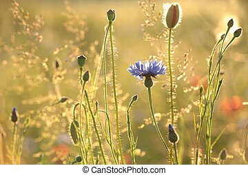 Cornflower at dusk - Cornflower in the field backlit by the...