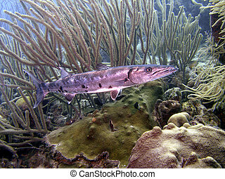 Giant Barracuda - The barracuda is a ray-finned fish known...