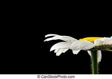 Condolences card - Daisy flower on black background with...