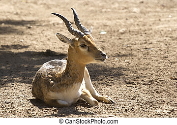 young male blackbuck antelope on a sunny day