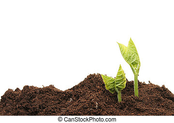 Bean seedlings - Two seedlings in soil against a white...