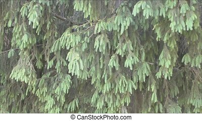 Spruce branches - The camcorder moves next to new fir...