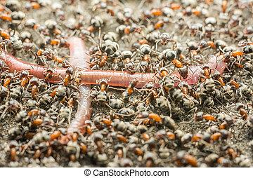 enxame, de, formigas, comer, minhoca