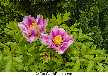 peony bush - macro garden plants photographed in the middle...
