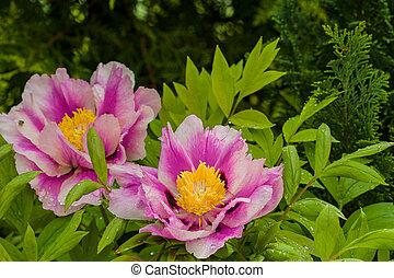 peony in garden - macro garden plants photographed in the...