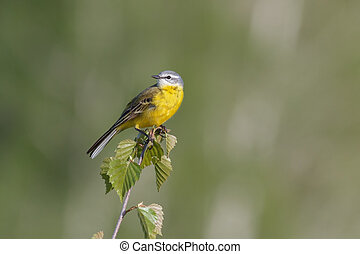 Yellow wagtail - Yellow Wagtail Motacilla flava sitting on a...