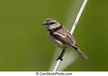 Female stonechatt (Saxicola rubicola) sits on a branch