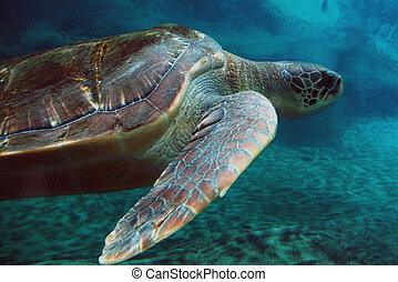 Turtle - Sea Turtle swimming