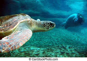 Turtle and Manatee - Sea Turtle swimming near a manatee