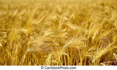Yellow wheat field. - Yellow wheat field and slow wind.