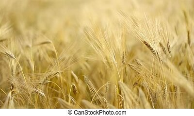 Wheat close-up. - Wheat close-up with de-focused background.
