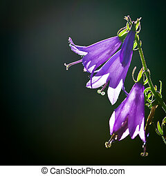 Giant bellflower (Campanula latifolia) against green...