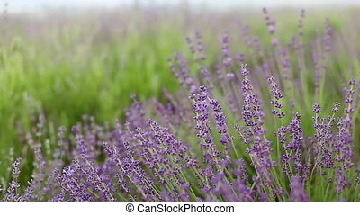 Lavender flower field - Lavender flower field, close-up with...