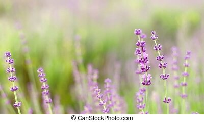 Lavender flower field - Lavender flower field, fresh purple...