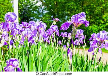 Iris Blooms - Purple Japanese iris flowers on spring Sun,...