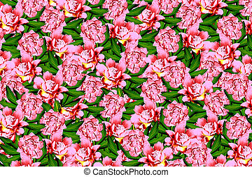 abstract background of peony flowers