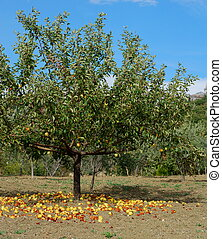 Apple tree and falling apples - Mature yellow apples falling...