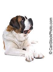 cão, são, bernard