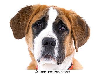 Dog  Saint Bernard isolated on a white background