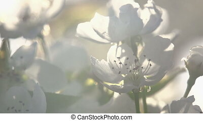 Blossoming - Flowers blossoming pear closeup backlit volume...