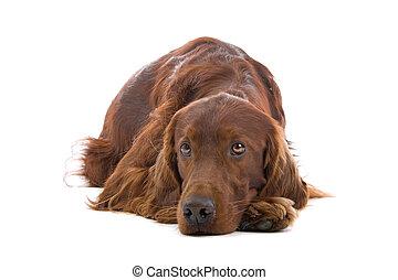 Irish Setter dog isolated on a white background