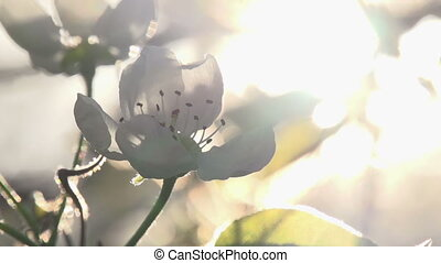 Solar Flower - Flowers blossoming pear closeup backlit...