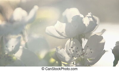 Spring Flowering - Flowers blossoming pear closeup backlit...