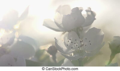 Petals in the Sun - Flowers blossoming pear closeup backlit...