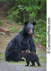 Momma Bear and cub - Momma bear with one cub sitting on path